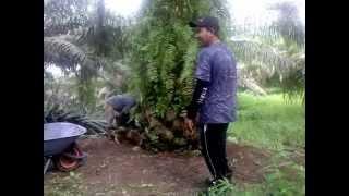 Download Video Vedeo Waktu kerja di Kebun Sawit Malaysia MP3 3GP MP4