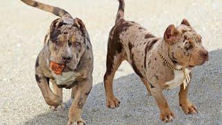 Top 10 Amazing Merle Dog Breeds
