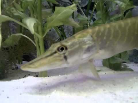 goldfische vermehren sich im teich doovi. Black Bedroom Furniture Sets. Home Design Ideas