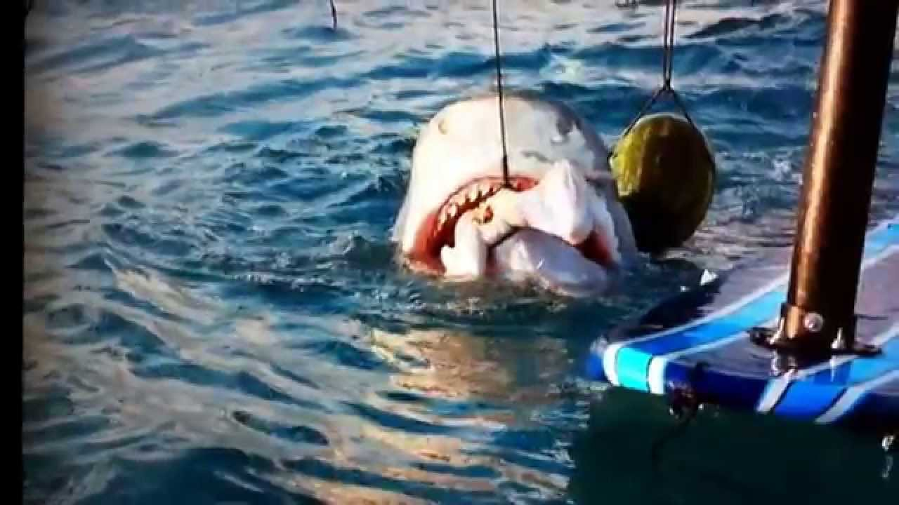 Great white shark eats a pig, and then a turkey. - YouTube