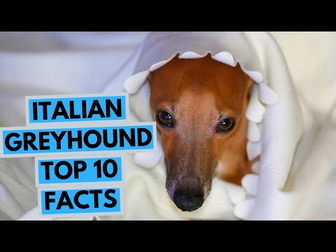 Italian Greyhound - TOP 10 Interesting Facts