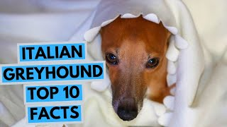 Italian Greyhound  TOP 10 Interesting Facts