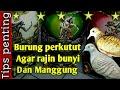 Burung Perkutut Agar Rajin Bunyi Dan Manggung  Mp3 - Mp4 Download