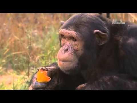 charles and jessica a chimp tale..seas.1ep.1