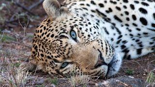 Blue-Eyed Leopard Chavaluthu