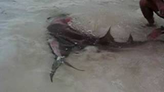 Shark Feeding On Mahi Mahi In The Bahamas