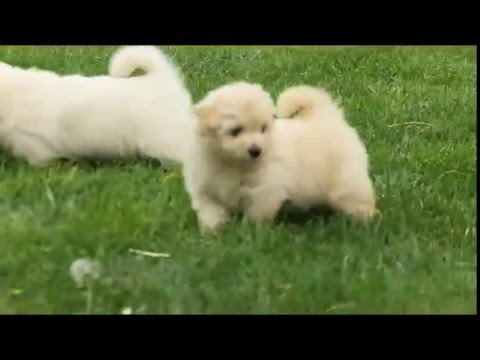 Pomeranian Mix Puppies For Sale