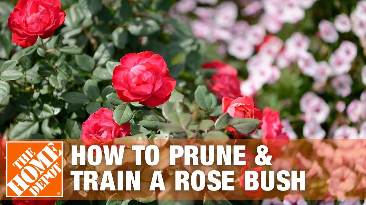 How To Prune And Train A Rose Bush The Home Depot