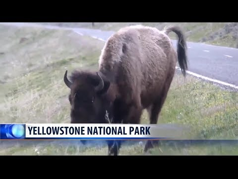 Woman gored by bison in Yellowstone National Park