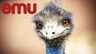 Start Emu Farm in India How to Start Emu Breeding Business India