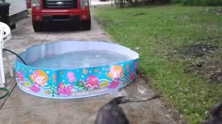Pool Fun, Mastiff Mix And German Shepherd
