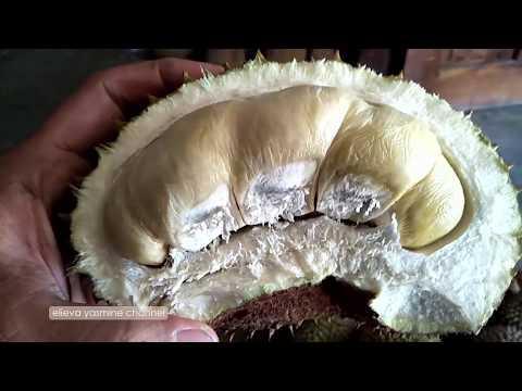 berburu-durian-6-|-gendon-genengan-|-jumantono-karanganyar