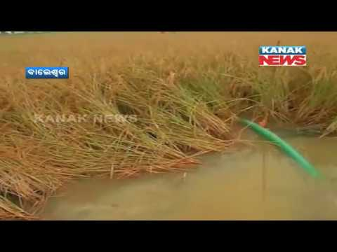 Heavy Rain Damages Crops In Odisha