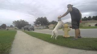 Motivating A Lazy Dog With Obedience Training! Dog Training In Central Florida.