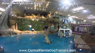 "Dog Training In Central Florida. 8mo Cur/pit Mix, ""mako"" Obedience Transformation."
