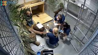 ICYMI: Tiger Cubs Weigh-in thumbnail