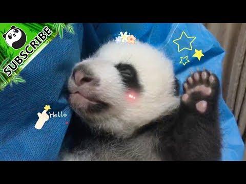 Beautiful Nanny Teaches You The Correct Ways To Handle Pandas | iPanda