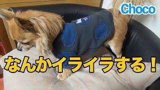 【Choco】我が家の愛犬Choco(チョコ)、ロングコートチワワです。たぶ...