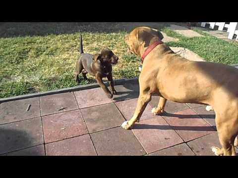 Chocolate Lab attacking my Red Nose Pit Bull