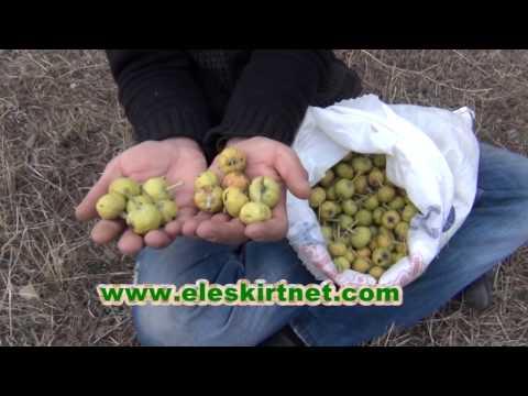 eleşkirt'in sonbahar meyvesi