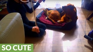 Woman plays violin lullaby for sleepy dog and cat