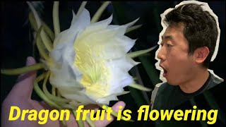 Dragon fruit flowering! Most beautiful flower I have ever seen!
