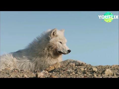 Le Loup Arctique