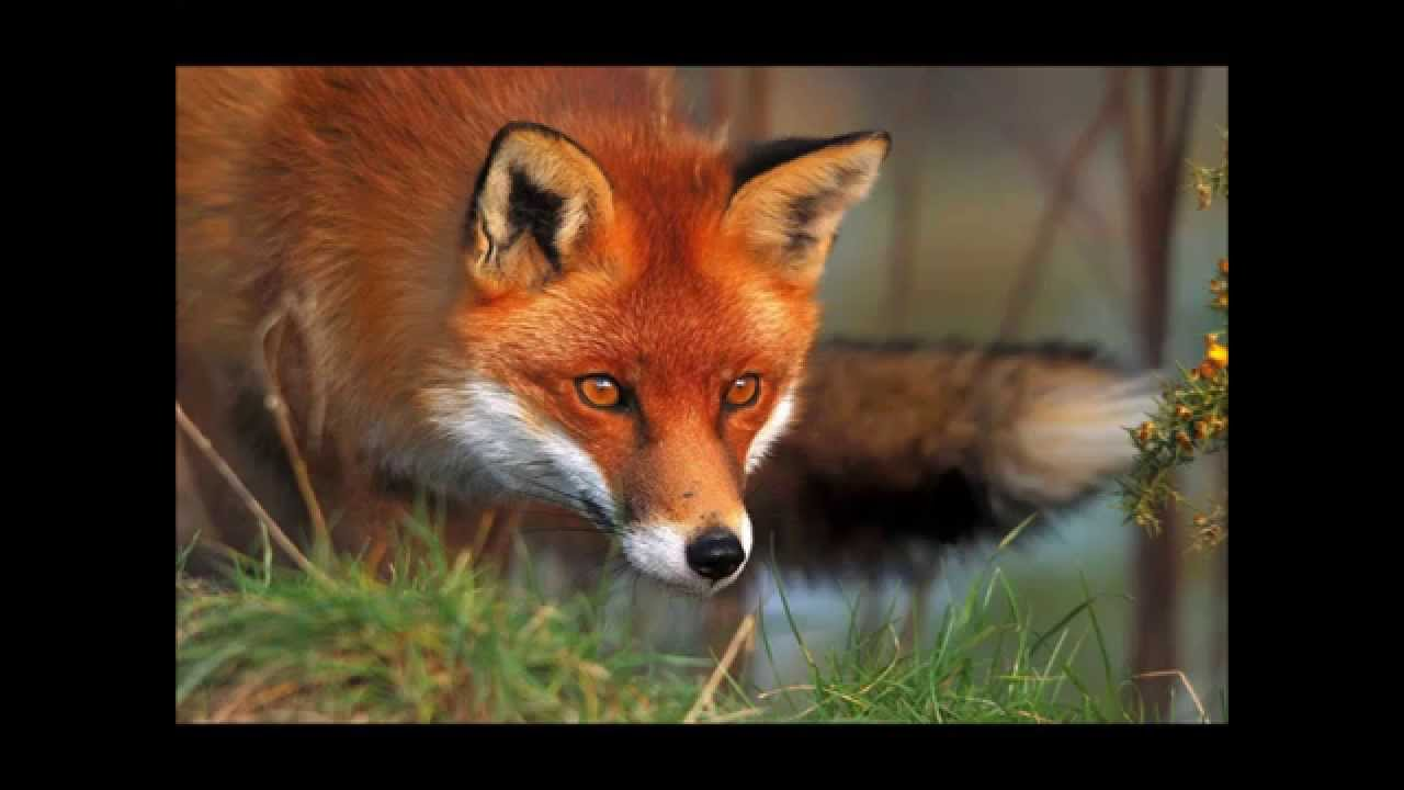 the fox by steeleye span music slideshow youtube. Black Bedroom Furniture Sets. Home Design Ideas