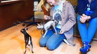 Маленькое счастье. A little happiness. Русский той. Russian toy terrier.