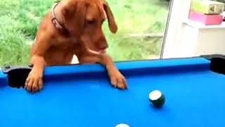 Забавные кошки и собаки играют в бильярд - 2016 [NEW!]