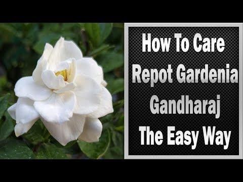 Gandharaj Plant Care Gandharaj Flower Plant Care ग धर ज