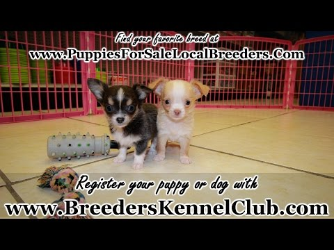 Chihuahua, Puppies For Sale, In Knoxville, County, Tennessee, TN, 19Breeders, Murfreesboro, Jackson
