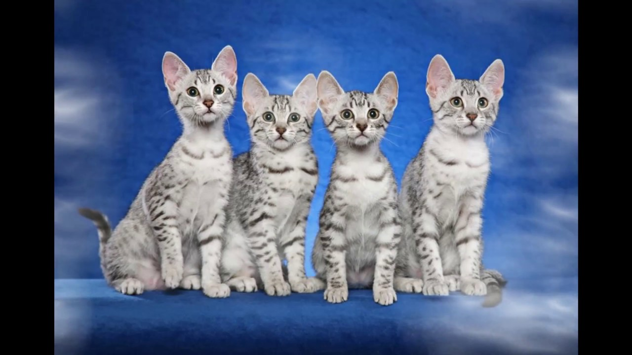History of the cat breed Egyptian Mau