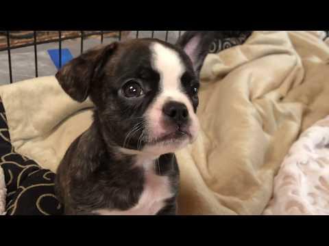 Award Winning Royal Frenchel French Bulldog Hybrid 'Puppy