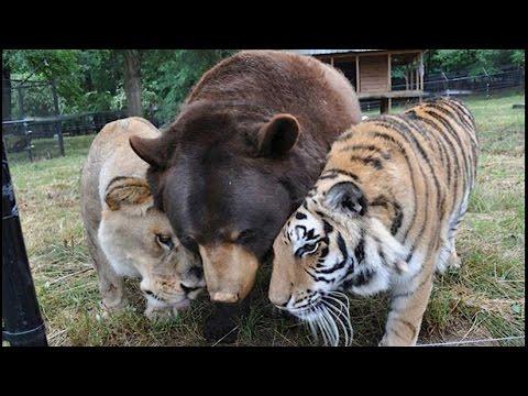 la curiosa amistad entre un uso un tigre y un le n youtube. Black Bedroom Furniture Sets. Home Design Ideas