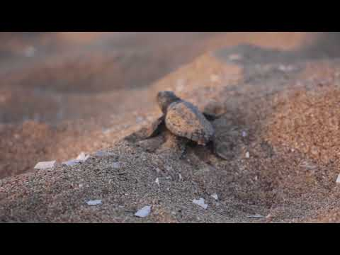Baby Sea Turtles Venture into the Big Wide World! - Koroni Project 2017