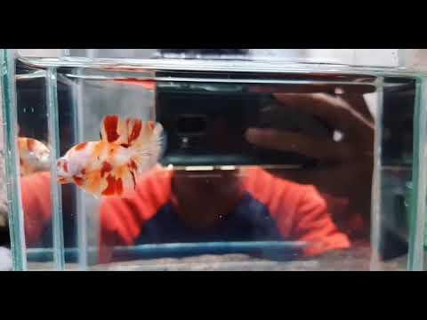 Ikan Cupang Plakat Nemo 1 - YouTube