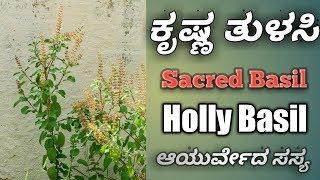 ತುಳಸಿ, Holly Basil, Sacred Basil