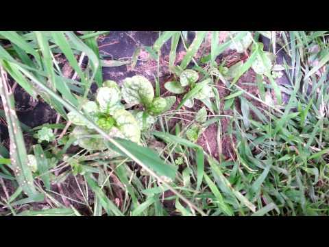 growing-malabar-spinach