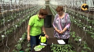 Сад и огород-118 Сорта огурцов.(, 2013-07-31T18:08:36.000Z)