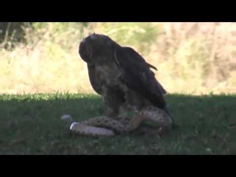 Águia Vs Cobra Venenosa    Águia Lutando Com Uma Serpente Ao Vivo