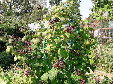 2 дек 2009. Сорт черная малина кумберлен высокозимостойкая высокоурожайная культура за ней.