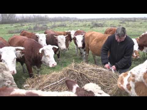 Uzgoj Hereford rase po sistemu krava tele   U nasem ataru 622