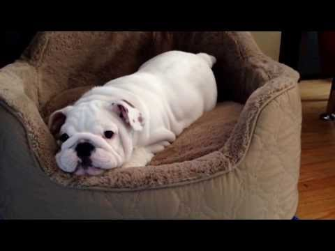 Candy the English bulldog puppy plays by herself.  Probably the cutest 1:32 you'll see today.