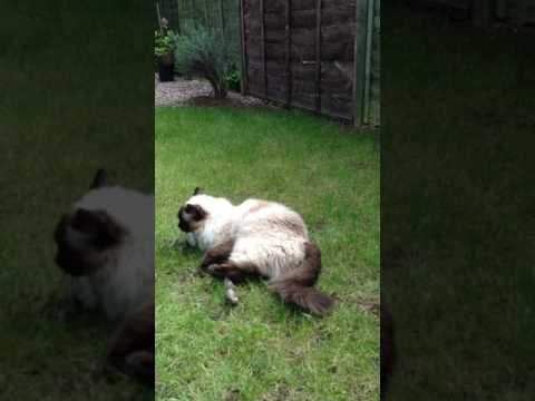 Ragdoll cat play