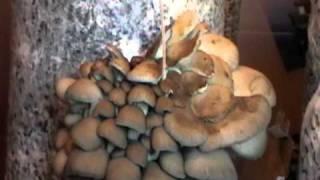 Mushroom Oyster \ гриб Вешенка(, 2010-12-23T13:09:32.000Z)