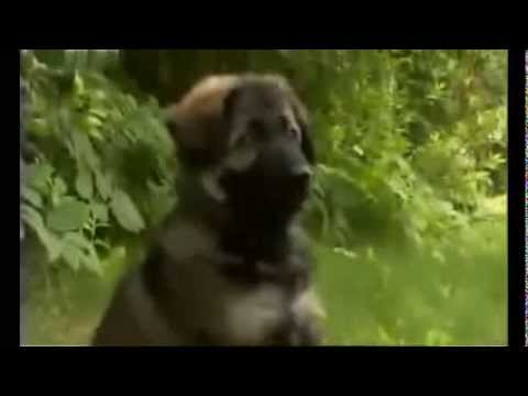 Немецкая овчарка. Породы собак. Dog breeds, funny, funny cats and dogs