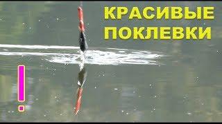 КРАСИВЫЕ ПОКЛЕВКИ на поплавочную удочку. Рыбалка. Fishing