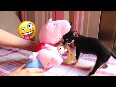 peppa-pig-tiene-un-cachorrito-muy-pequeño!!!-mini-la-pequeña-chihuahua!