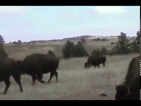 Black Hills Travel Guide Custer State Park Buffalo